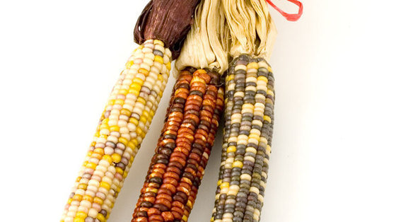Zwierzęta w Europie nadal będą jeść importowaną z Ameryki transgeniczną kukurydzę NK 603